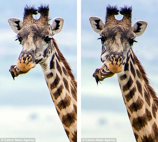 在坦桑尼亚,摄影师捕捉到一只红嘴牛掠鸟为长颈鹿剔牙的场景.