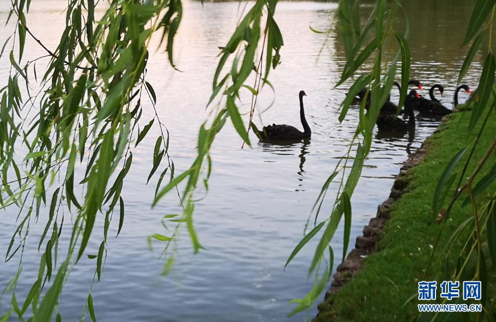 6月25日,傍晚余晖下,合肥工业大学翡翠湖校区的黑天鹅在校园湖区内畅游。   一身乌黑光亮的羽毛,一双强壮有力的翅膀,加上一对灵巧的脚蹼,这就是合肥工业大学翡翠湖校区生态谷里的黑天鹅,它们或拍打翅膀浮水而过, 或戏水觅食,成为校园里的一道风景。   从2004年开始,黑天鹅便入驻合肥工业大学,迎来送往看着学子们成长。在校园里,黑天鹅集万千宠爱于一身,特别是新生报到那段时间,全国各地的学生和家长,都争相跟天鹅合影。不仅如此,珍稀黑天鹅作为合肥工业大学的一个标志,已成为加强校际交流合作的友好天使,多次远
